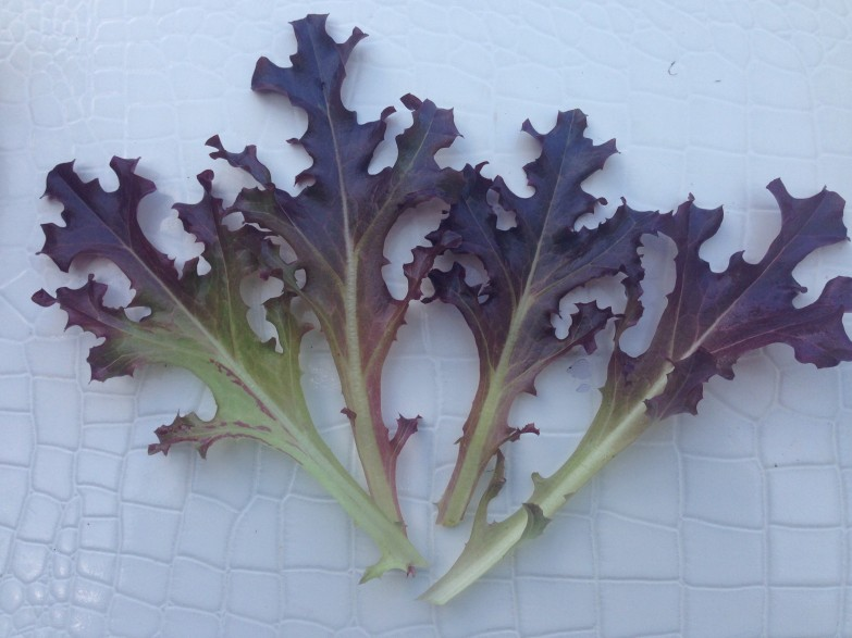 Gourmet Lettuce Mix Red Oakleaf 2